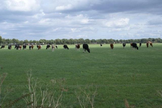 Hier en daar nog koeien in de wei.